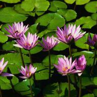 Water_lilies-6d8573f098719b7436768059007fa2ba.jpg