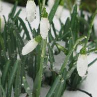 snowdrops-in-the-snow-2df2e9b1982cc393690796b921e5092b.jpg